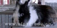 Clic para ver galeria UFPS Seccional Ocaña fortalece su producción cunícola